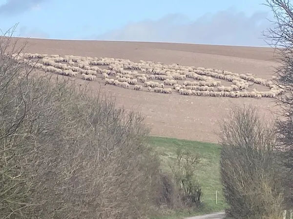 Hundreds of Sheep Assemble in Mysterious 'Flock Circle'