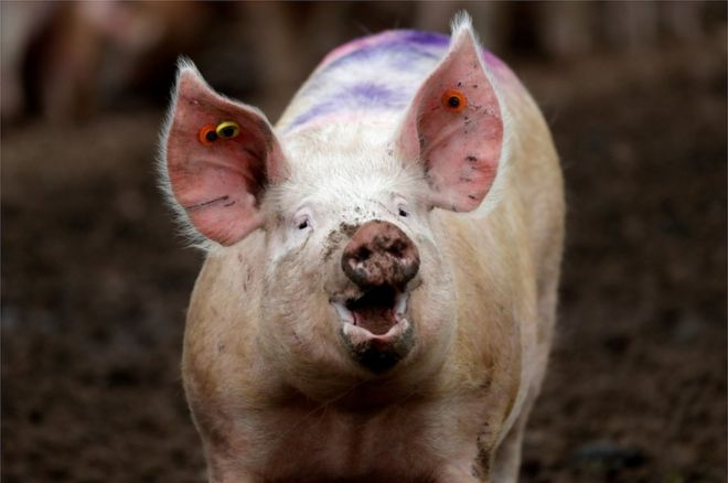 Ethics Debate Rages as Pig Brains Kept Alive without a Body