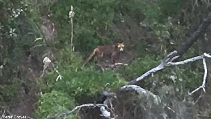 Supposedly Extinct Tasmanian Tiger Photographed in the Wild?