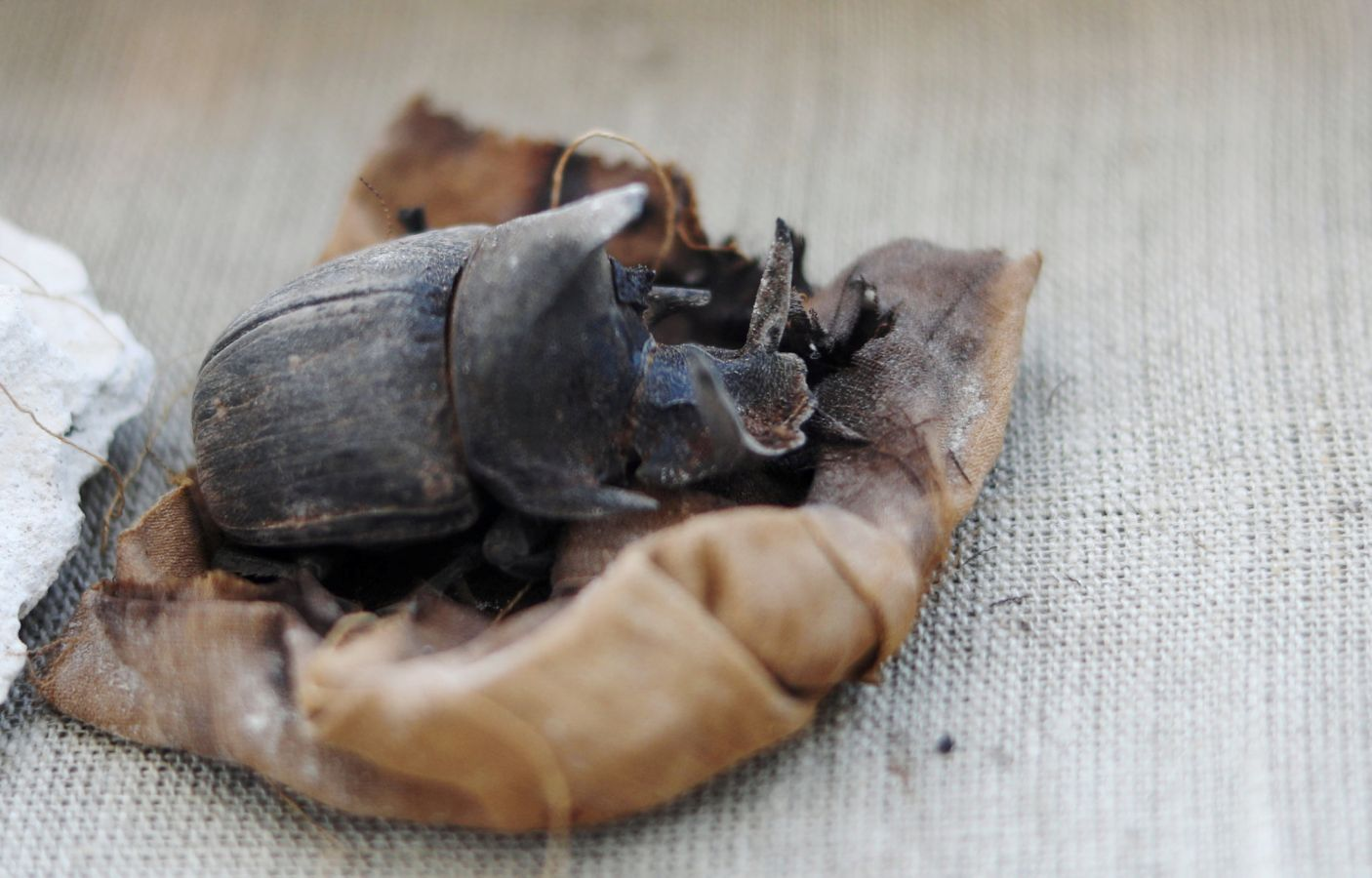 Archaeologists Find Mummified Beetles in Ancient Egyptian Tomb