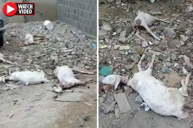 Goat Carcasses Found 'Drained of Blood' in Pakistan