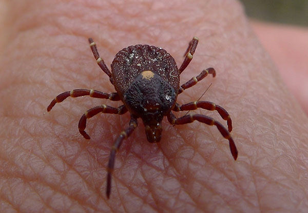Pentagon Ordered to Tell Congress If It Weaponized Ticks