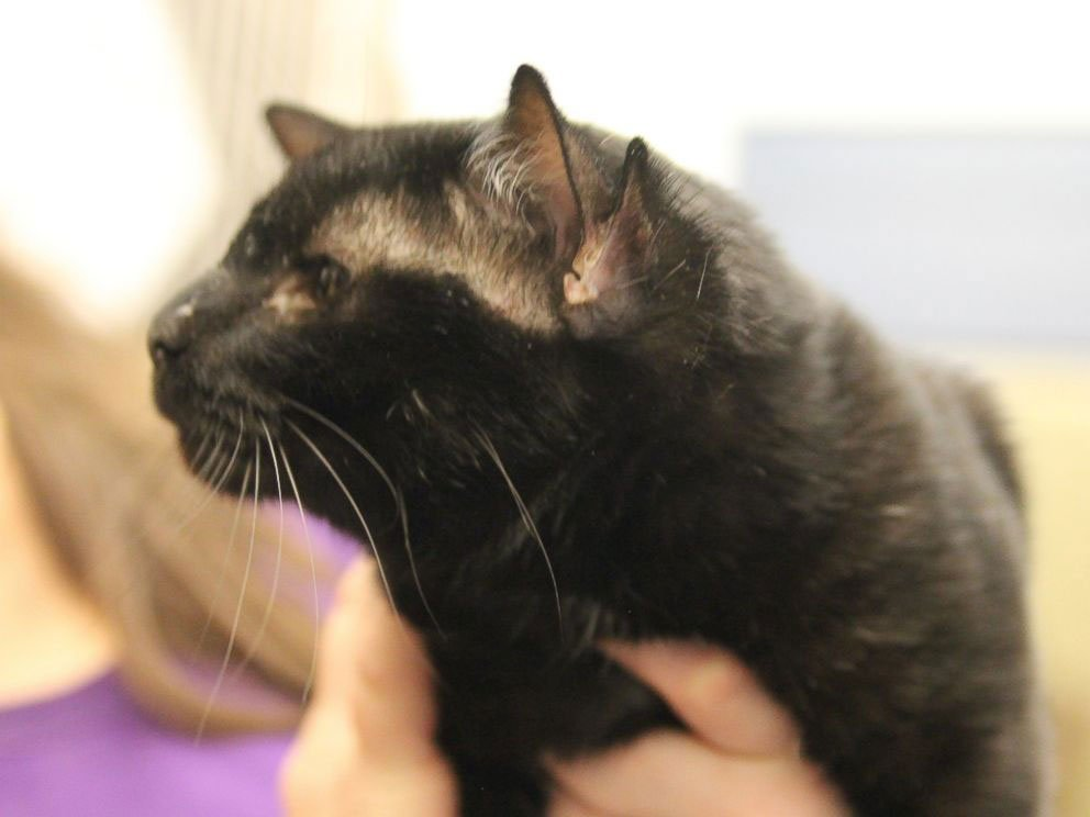 Batman the Four-Earred Cat Finds a Home